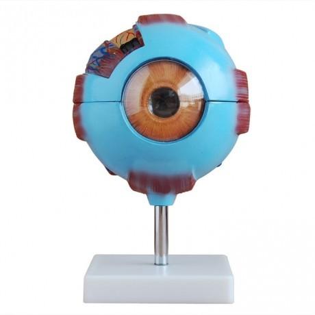 眼球解剖放大模型